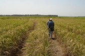 Environnement-Boké: des champs de riz détériorés dans le secteur de Kibola