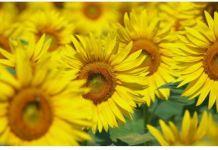 bunga matahari,sunflower,himawari