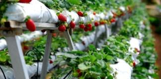 wisata alam, kebun strawbery, karanganyar
