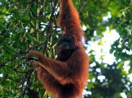 perburuan orangutan