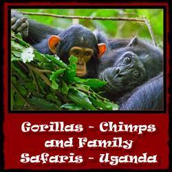 Gorillas-Chimps-Family-Safaris