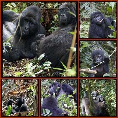 The Habituated Gorilla Groups that can be trekked in Uganda