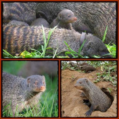 Best Place to see the Banded Mongoose in Uganda
