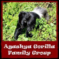 Agashya-Gorilla-Group