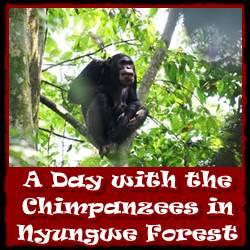 day-withchimpanzees-Nyumgwe-Forest