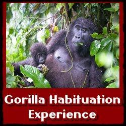 Best Gorilla - Chimpanzee - Golden Monkey - Habituation Experiences
