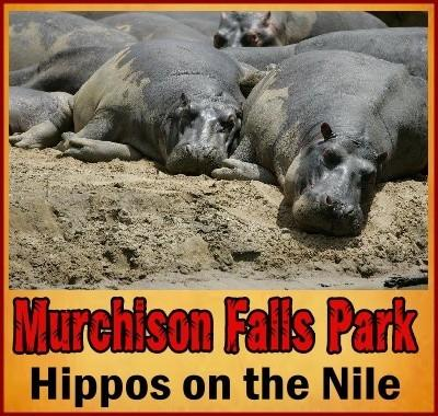 Best places to see Hippos in Uganda the Pearl of Africa