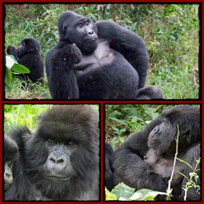 The 15 Gorilla Groups you can Trek on Safari in Uganda