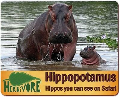 The Herbivores you can find in Uganda on your Safari