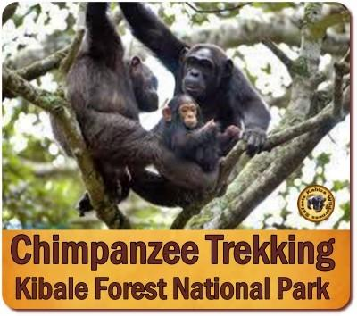3 Day Chimpanzee Trekking Safari in Kibale Forest