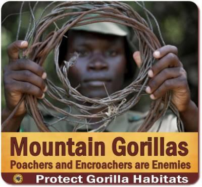 Know the Mountain Gorillas of Uganda and Rwanda- Information and Background