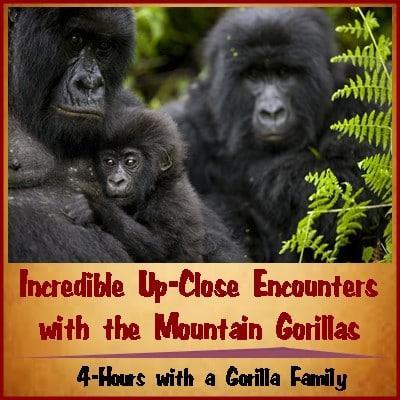 7-Day-Luxury-Gorilla-Chimpanzee Habituation Experience-Wildlife Safari