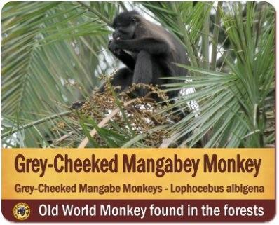 The Primates found in Uganda-The Premier Primate Destination in Africa