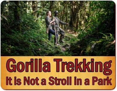 Which are the Easiest Gorilla Families to Trek in Uganda?