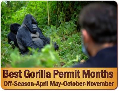 The Best Months of the Year when Gorilla Permits are Available in Uganda