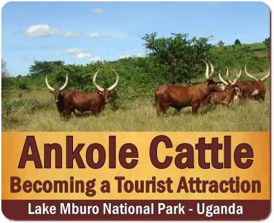 Ankole Cows in Uganda – Rwanda – the Cattle of Kings-known as Watusi cows