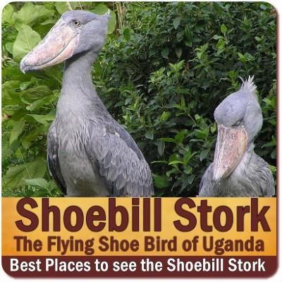 Shoebill Stork of Uganda