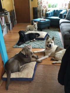 House manners in the living room with Daisy, Cato, Taku and Ollie.