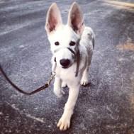 German Shepherd pup, Tundra, practicing his leash walking skills. Look at those ears!