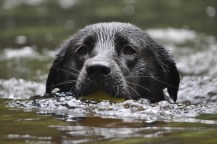 Kabler Residency graduate Rose retrieving her tennie. Rose eats Life's Abundance dog food for optimal nutrition!