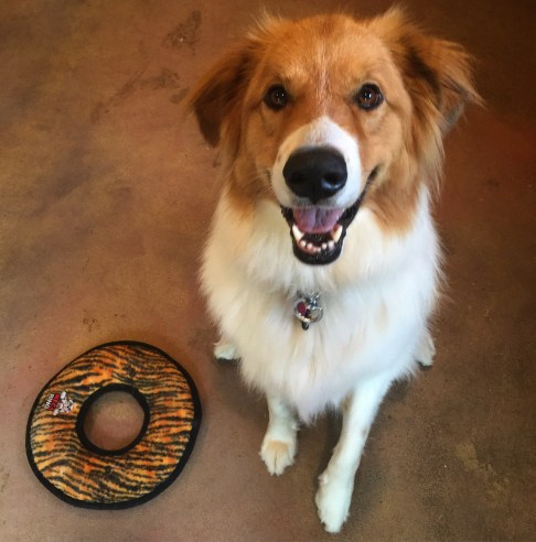 Collie/Pyrenees rescue Kona getting started with her obedience in the Kabler training studio.