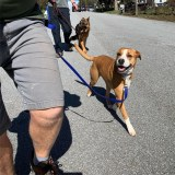Sydney used to be highly reactive to other dogs before her Residency course.