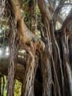 giant figus