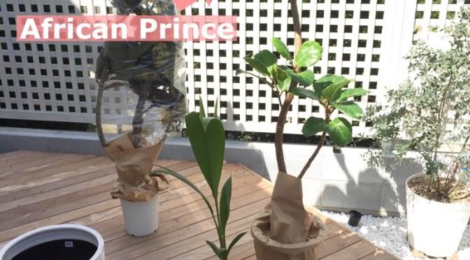 観葉植物アフリカンプリンス入荷