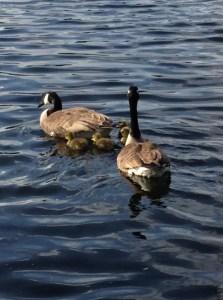 goslings in Sefton Park Kadampa Meditation Centre Liverpool