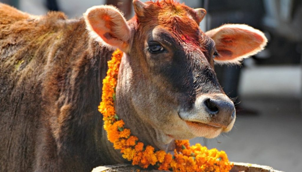 आज गाई तिहार गाईको पुजाआजाका साथै मिठा खानेकुरा खान दिएर मनाइदै