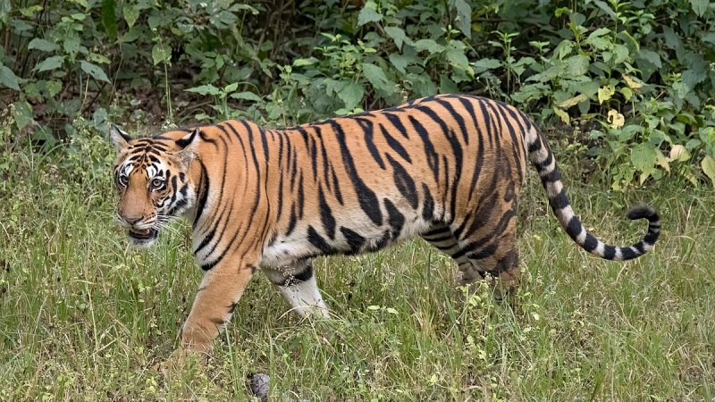 गैंडा गणनामा खटिएका एकजना कर्मचारीको बाघको आक्रमणबाट मृत्यु