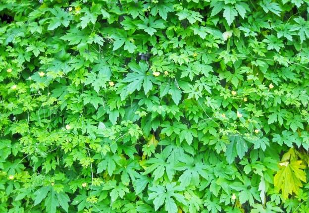 ゴーヤ緑のカーテン