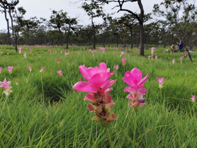 ภาพของทุ่งดอกกระเจียว มีดอกกระเจียวสองดอก สีบานเย็น อยู่ตรงกลางของเฟรมภาพ