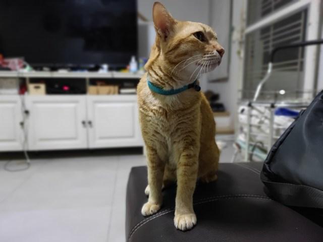 ภาพ Portrait แบบถ่ายแมวสีสมที่กำลังนั่งหันหน้าไปทางซ้ายมือของแมวอยู่บนโซฟา