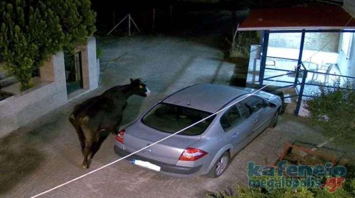 Ένας κτηνοτρόφος συνεχίζει να προκαλεί προβλήματα και να γελοιοποιεί τις αρχές – Θα βρεθεί τελικά κάποιος να δώσει λύση;