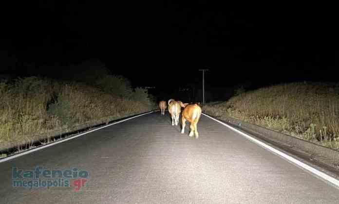 Κοπάδι από ανεπιτήρητες αγελάδες πάνω στον επαρχιακό δρόμο προς Ίσαρη – Κίνδυνος για τους οδηγούς