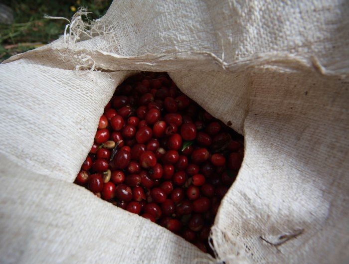 Kaffearten Geisha ble plantet på Hacienda La Esmeralda på slutten av 1970-tallet, etter anbefaling av agronomen Francisco Serracín. Nå er den verdensberømt som den aller beste av sitt slag.