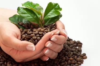 Urpsprung des Kaffee