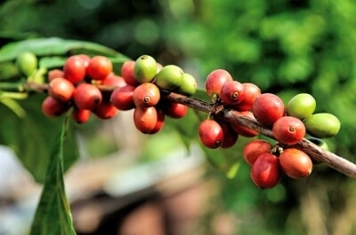 Anbau des Kaffees - Von der Plantage in die Kaffeetasse
