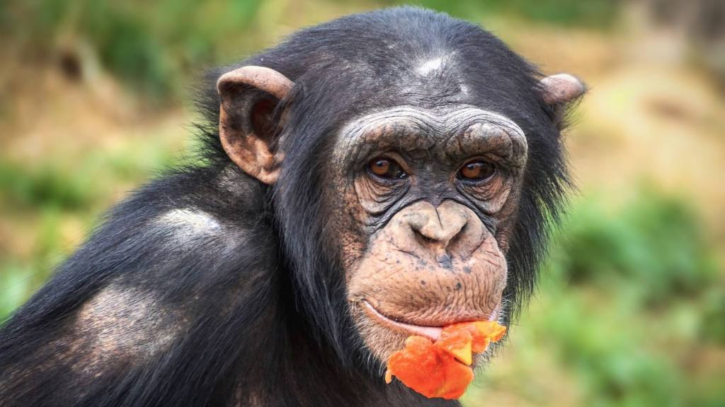 chimpanzee-czech-zoo-lockdown