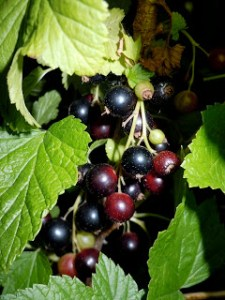 Blackcurrant or cassis. Source: The Perfume Shrine.