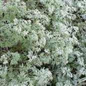 Artemisia or Wormwood. Source: Esacademic.com