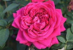 The Otto damascena rose. Source: ludwigsroses.co.za