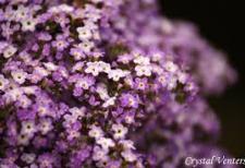 Heliotrope. Photo: Crystal Venters via Dreamtime.com