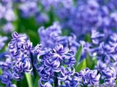 Hyacinth. Source: wallpaperzone.biz