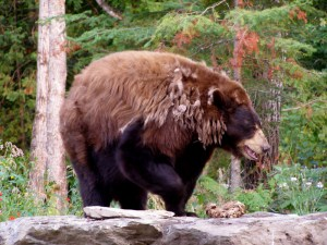 Source: North American Bear Center at bear.org