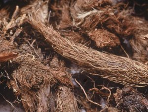 Spikenard roots via Fragrantica.