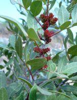 Lentiscus or Mastic via Wikipedia.