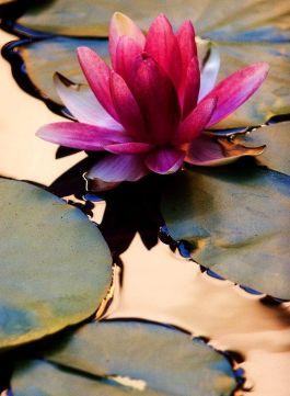 Pink Lotus Blossom. Photo by Живая Земля on Facebook. https://www.facebook.com/biorussia