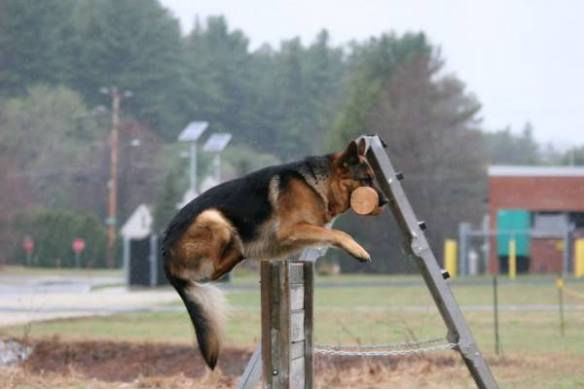 "Photo: Alissa Weaver. ""Aiden"" during IPO trials. Source: Alta-Tollhaus"